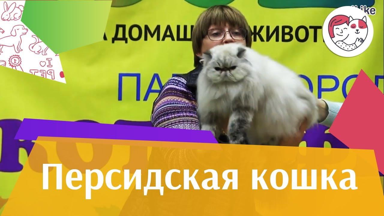Персидская кошка на ilike.pet Здоровье
