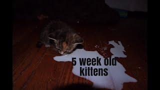 5 week old KITTEN CARE | plus one