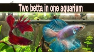 How to put two betta in one aquarium || two fighter fish in one tank