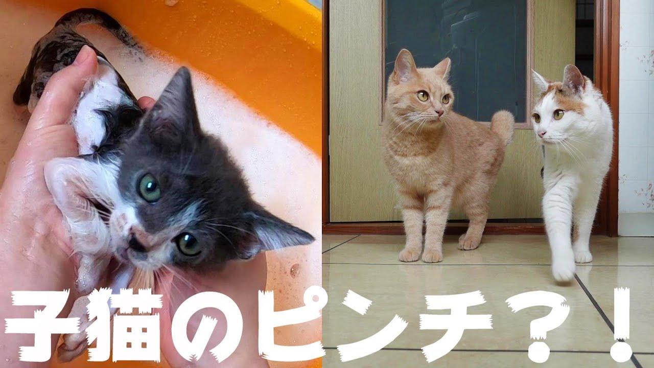 子猫が風呂で鳴いているのでとりあえず駆け付ける猫