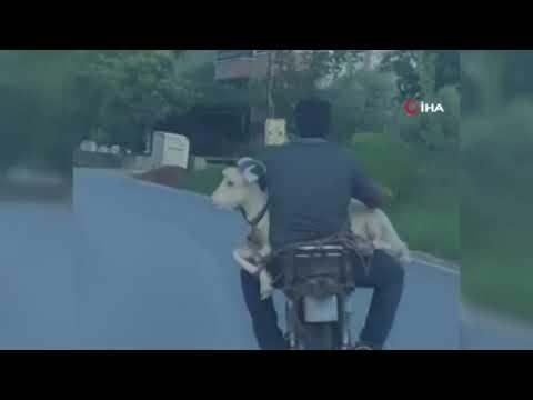 Keçiyi motosikletle taşıdı