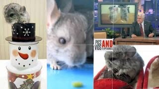 ChinTubeHD - Your Chinchilla World