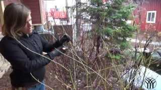 How To Prune a Dogwood Shrub