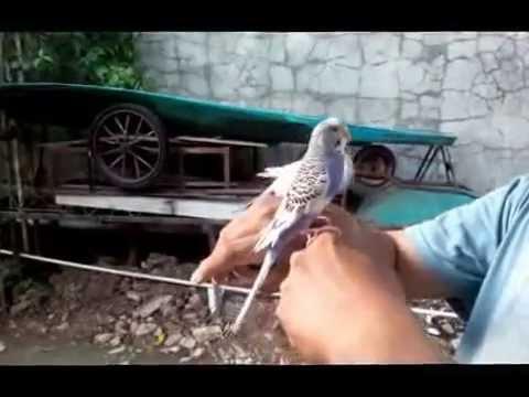 Video BURUNG PARKIT MERAWAT & MATING (KAWIN)