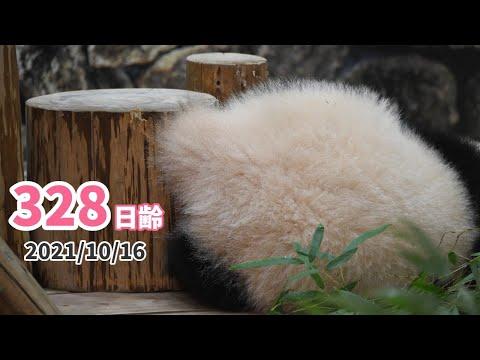 【パンダの赤ちゃん(楓浜)】お顔があんまり見えません…(328日齢)