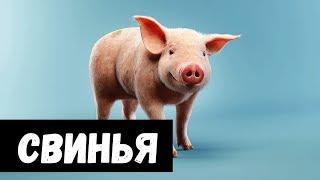 К чему снится Свинья видео -К чему снится СВИНЬЯ или видеть ПОРОСЕНКА во сне