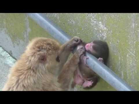 Baby monkey 23days old on 7/20/2015 at Kushiro zoo No.8