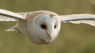 Graceful Barn Owl Hunting In The Daytime | BBC Earth
