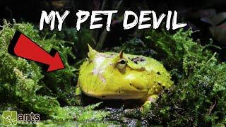 My New Pet Devil (Surinam Horned Frog)