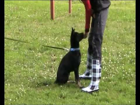 Preview video obedience - puppies