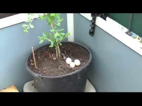 Гнездо на балконе