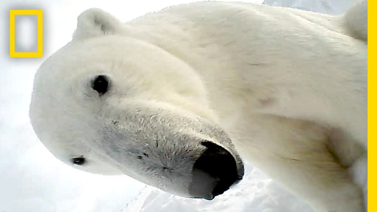 Polar Bear Eats Seal in First Ever POV Video | National Geographic thumbnail