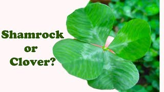 St. Patrick's Day I What's the Difference between a Shamrock and a Clover?