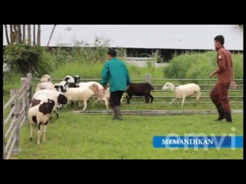 Video Domba Garut - Perawatan Ternak Domba