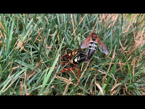 Cicada Killers in Lawrence Township, NJ