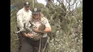 Phantom Cat of the Chaparral: Endangered Ocelot
