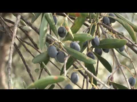 CAMPAGNA OLIVICOLA, IN LIGURIA IL 30% DI OLIVE IN MENO, MA LA QUALITA' RESTA BUONA