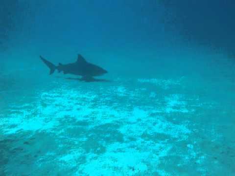 Bullenhai vor Playa del Carmen, Mexiko, Playa del Carmen,Mexiko