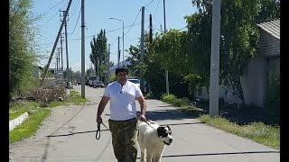Вес, рост, обьем груди, обьем головы и морды моего щенка среднеазиатской овчарки Сакара в 7 месяцев