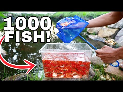 THOUSAND GOLDFISH RELEASED IN TAR WATER!!!!