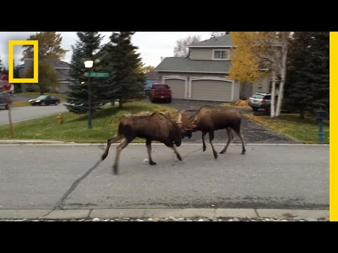 Two moose fighting in a quiet suburb in Alaska