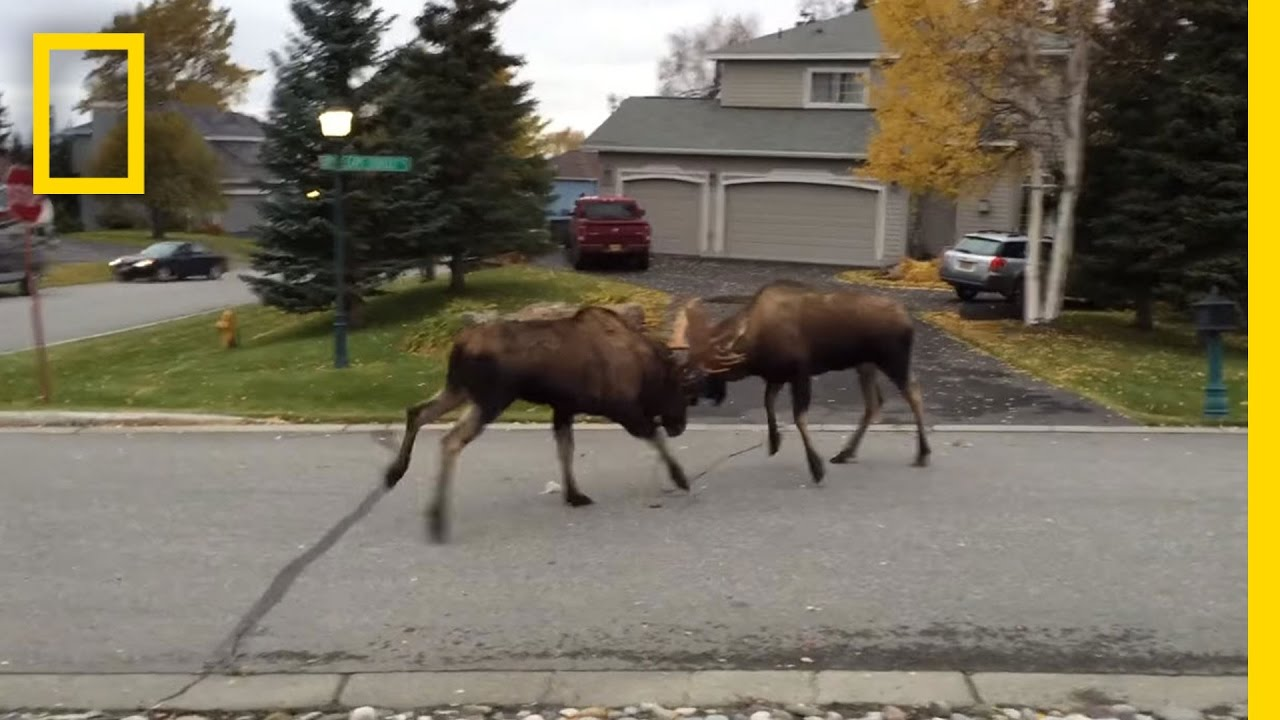 Watch Moose Fight in a Quiet Alaska Suburb | National Geographic thumbnail