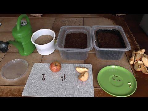 Apfelsamen zum Keimen vorbereiten