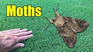 Moths in Lawn