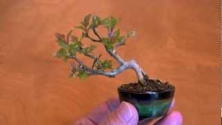 サルスベリ-N1さるすべり・百日紅ミニ盆栽の育て方・作り方bonsaitree