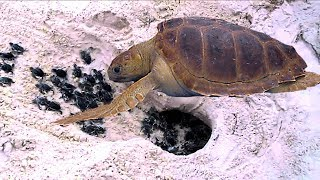 Mom Sea Turtle Goes To The Coast And Lays To Many Eggs- Babies Race To The Ocean