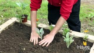 How To Plant Cauliflower   Hayes Garden World