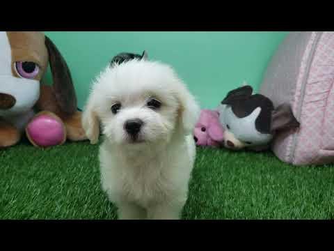Maltipoo Puppy- Female- Olga