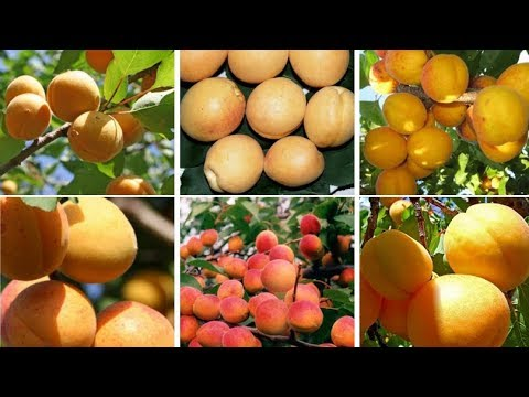 Морозостойкие и выносливые сорта абрикосов: весенняя ярмарка саженцев!