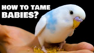 How to tame baby Budgie birds?