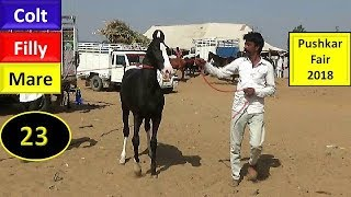 पुष्कर मेला Pushkar Fair Mela : Indian Marwari Horse Market 2018 :  Mare Colt Filly  : Ghoda Bazar