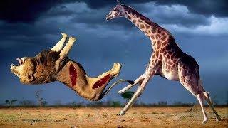 POWERFUL GIRAFFE vs LION REAL FIGHT!!