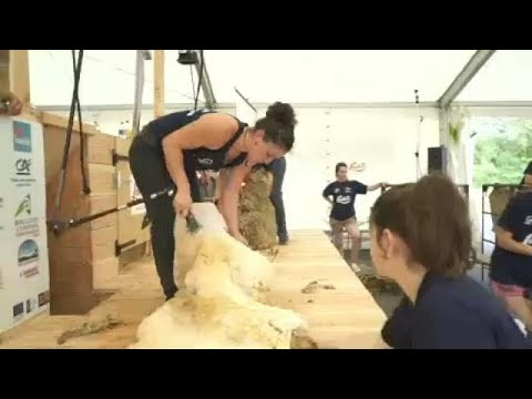 العرب اليوم - شاهد: منافسة لجز فراء 2500 خروف في 24 ساعة