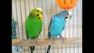 10 Hr Budgies Chirping Parakeets Sounds Reduce Stress Nature Bird Sounds Background Sounds