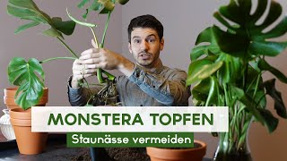 Monstera Stecklinge einpflanzen - Fensterblatt eintopfen
