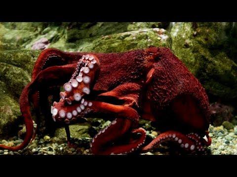 Top 5 Incredible Octopuses