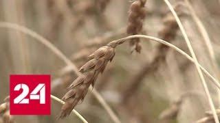 В Новосибирской области после пресс-конференции президента начали разбираться с излишком зерна - Р…