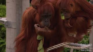 Orangutan Keeper Talk | Perth Zoo