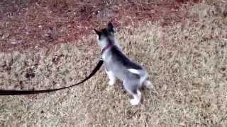 Husky puppy's first walk on a leash