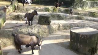 スイス発 ピグミーゴート(山羊)も元気です!~バーゼル動物園にて~ 【スイス情報.com】