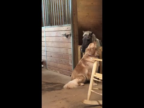 Neglected, abandoned horse bonds with golden retriever at NC rescue shelter