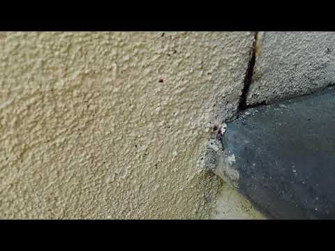 """I was sent to a home in Edison, NJ after the homeowner had contacted Cowleys after noticing a significant number of ants crawling around their living room. Upon arrival, the homeowners showed me where they had last seen the invading ants. Ants were trailing along the front patio baseboards in the living room, which also happened to be the interior side of an outside wall. Given the location, I strongly suspected that ant nest was located outside the home and foraging ants accessed the home through gaps and cracks in this wall. With their pheromone scent trail established, there was a busy ant """"highway"""" that led straight into the living room. Sure enough, once I moved my inspection to the exterior side of this wall, I found the ant trail. The trail started from soil near the home, and then went up the exterior wall right into the living room. I also observed that they ants had found some prime real estate to build their colony. Ants and most other insects thrive in moist environments. Here, the soil right outside the living room was kept constantly moist (despite our dry spells) because a sprinkler head was right there. In addition to this portion of the lawn being watered constantly, this area was not exposed to direct sunlight and kept shaded because an overhang. Without this little area being dried out from the sun, the soil was rich with moisture all the time, perfect conditions for an ant colony. This thriving colony was getting its food supply outside the home from the rich soil and vegetation and inside the home from all of the crumbs and food debris. Ants do very well around human habitats since we leave them plenty of food and moisture. For ants, our barely noticeable crumbs that we leave on floors and counters is like finding treasure. To eliminate this ant infestation, I thoroughly treated the interior areas with a crack and crevice treatment and the exterior areas with a perimeter treatment. With these applications, the ants pick up the product as they tr"""
