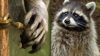 Racoon Demonstrates Problem Solving Skills   Earth Unplugged