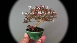 盆栽・サルスベリPさるすべり・百日紅花もの盆栽の販売