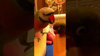 Parakeet Says I Love You Baby    ViralHog