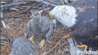 SWFL Eagles ~ E15 Almost *CHOKES* On LEG BONE! Harriet To Rescue Standing By To Pull Out!!  4.24.20